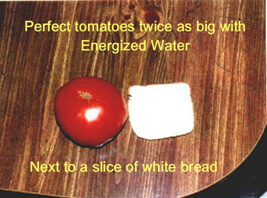 Perfect tomatoes twice as big with energized water
